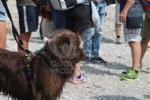 CERESOLE REALE - I cani Terranova nel lago per labilitazione al soccorso in acqua - immagine 10