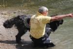 CERESOLE REALE - I cani Terranova nel lago per labilitazione al soccorso in acqua - immagine 9