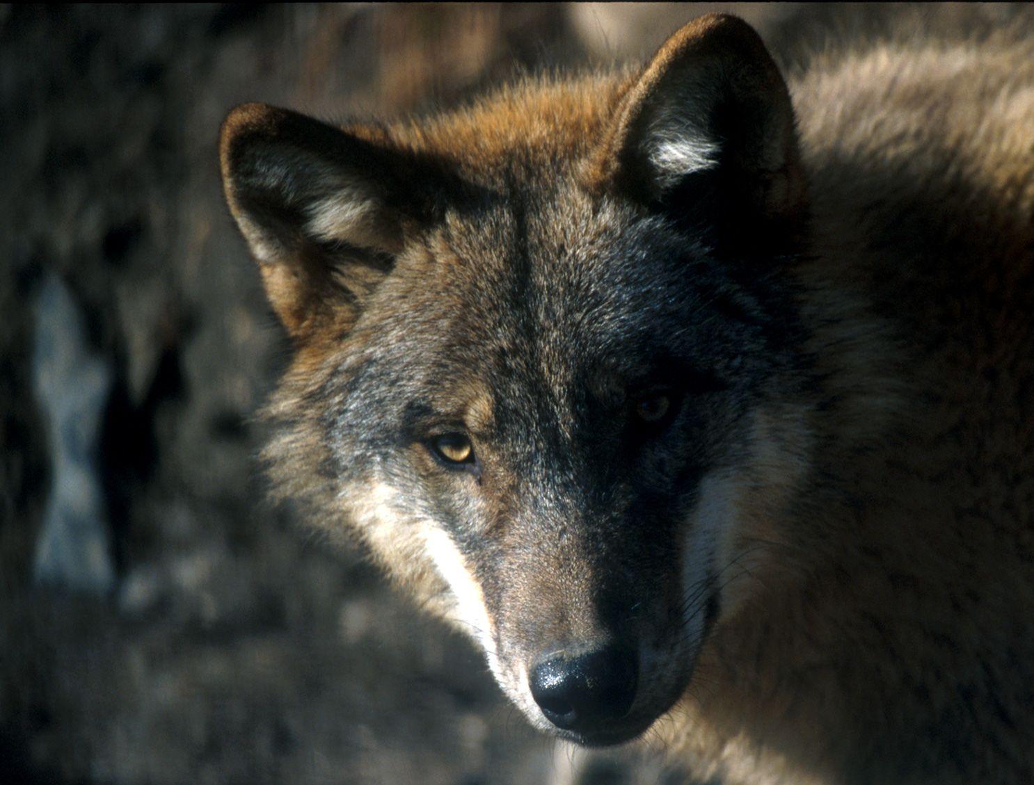 PARCO GRAN PARADISO - I lupi prendono casa nel Parco: avvistato un secondo branco