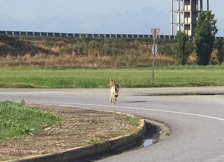ALLERTA LUPI - La Regione: «La gestione del lupo in Piemonte sta sfuggendo di mano»