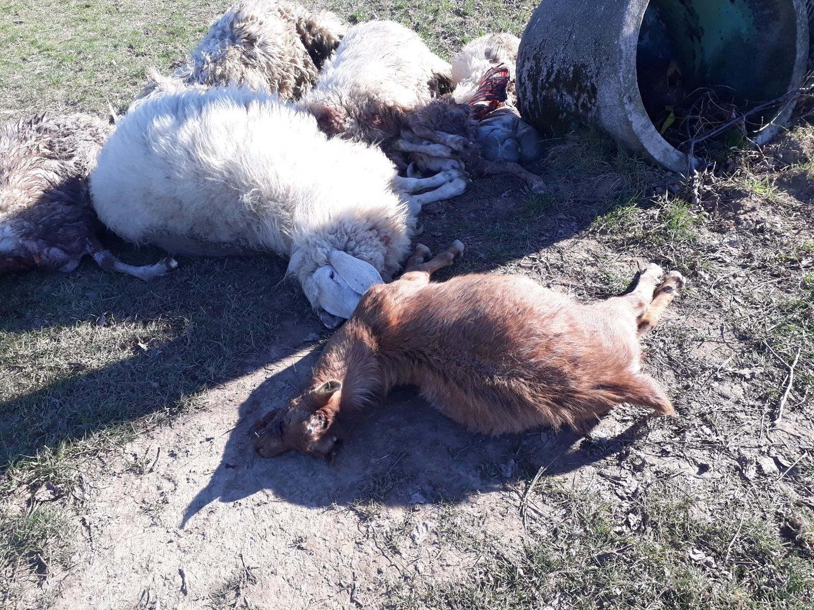 SALASSA - Lupi anche in pianura: sbranate cinque pecore e una capra