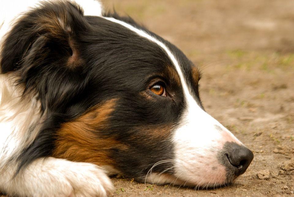 CIRIE' - Padrone in carcere, il cane resta segregato in garage per due settimane: salvato in extremis