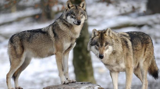 CANAVESE - Attacchi dei lupi: chiesti più soldi per i rimborsi agli allevatori danneggiati