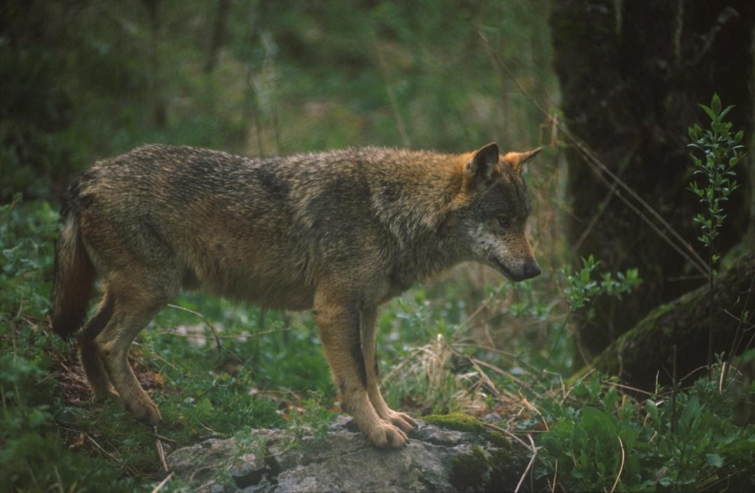 CANAVESE - Uomini e lupi, tra mito e realtà: una convivenza è possibile?