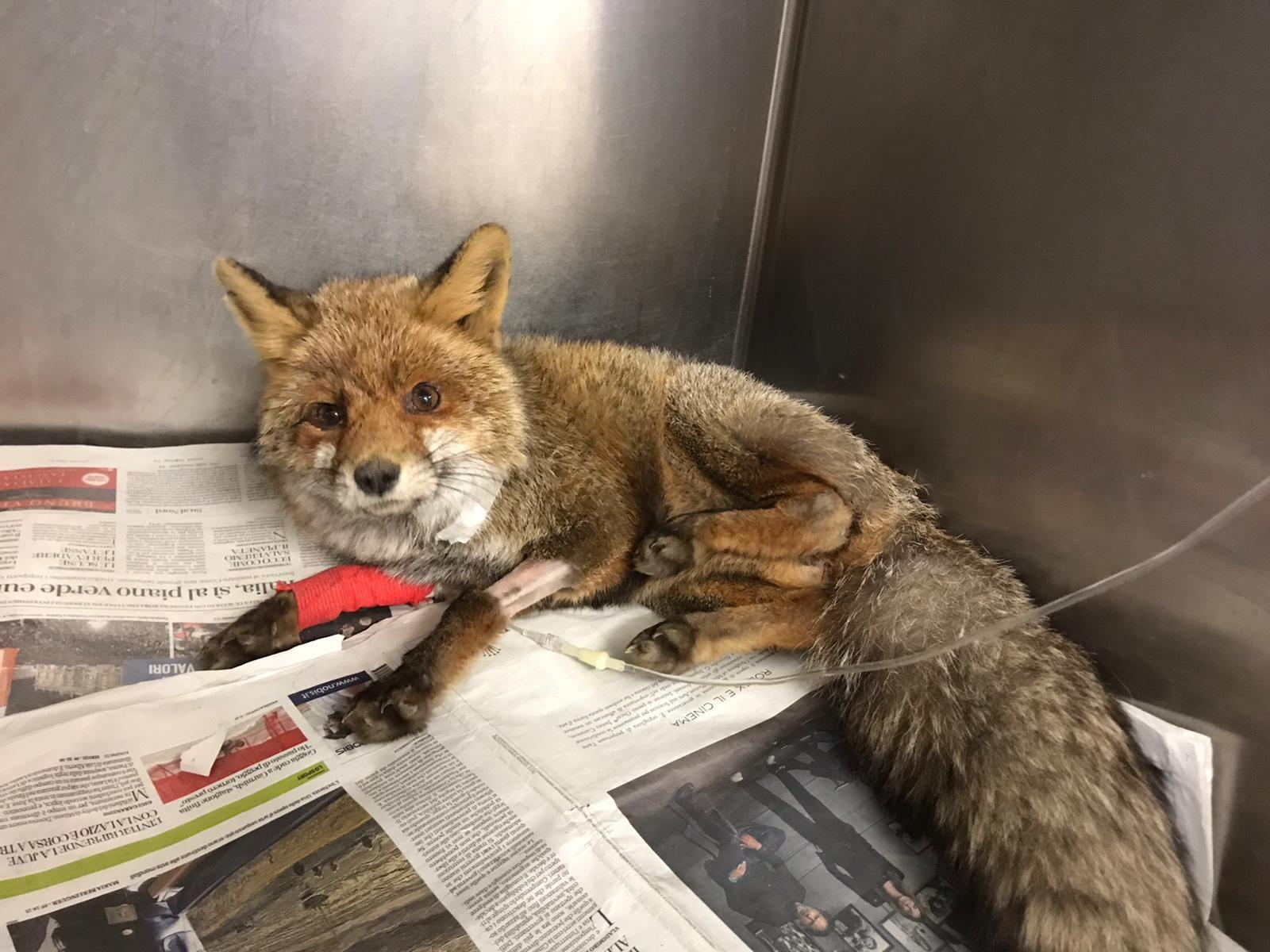 CUORGNE' - Su una volpe ferita a Priacco il primo intervento del progetto «Salviamoli insieme on the road» - FOTO