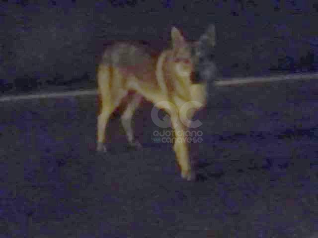 OZEGNA - Un lupo adulto a spasso sulla provinciale? - FOTO
