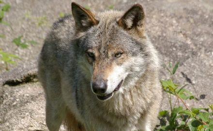 CANAVESE - L'Uncem: «Su lupi e ungulati stiamo dalla parte degli allevatori»