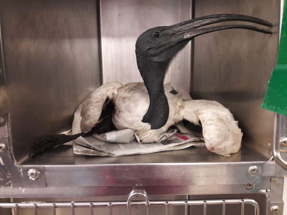 OZEGNA - Ibis Sacro salvato dal Centro Animali Non Convenzionali