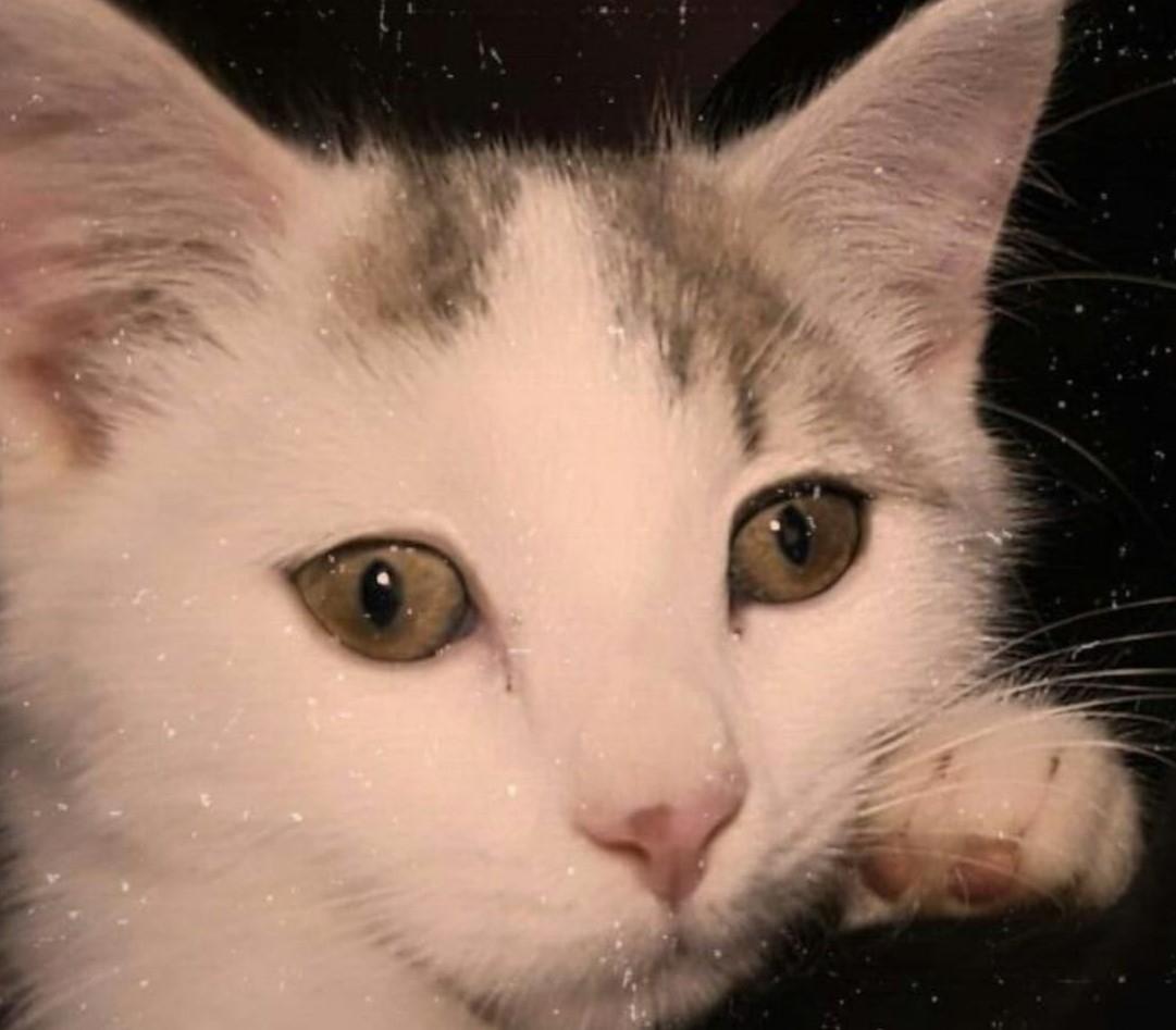 RIVAROLO - Appello per ritrovare la gatta Mesh scomparsa da via Salvo D'Acquisto