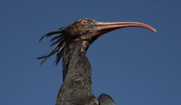 CANAVESE - Il rarissimo Ibis Eremita ha fatto tappa a Castellamonte - FOTO