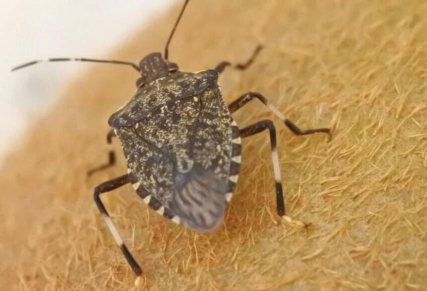 PIEMONTE - Prosegue il lavoro di squadra per il contrasto alla cimice asiatica con la vespa «samurai»