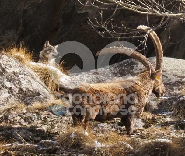 CERESOLE REALE - Gli stambecchi a tu per tu con il lupo nell'area protetta del Parco Gran Paradiso