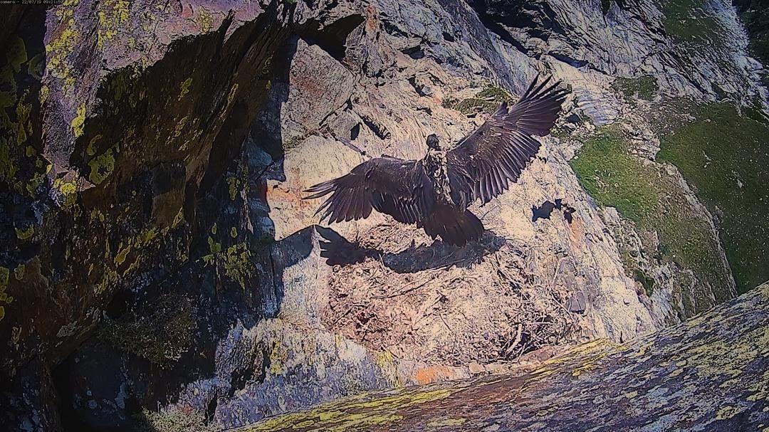 PARCO GRAN PARADISO - Spicca il volo in diretta il piccolo gipeto Avrì - VIDEO