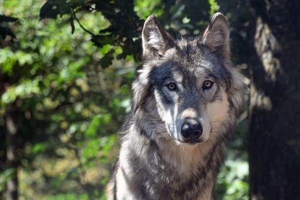 ALLERTA LUPI - La Lega scrive al Ministro dell'Ambiente: «Chiesto un piano di abbattimento dei lupi»