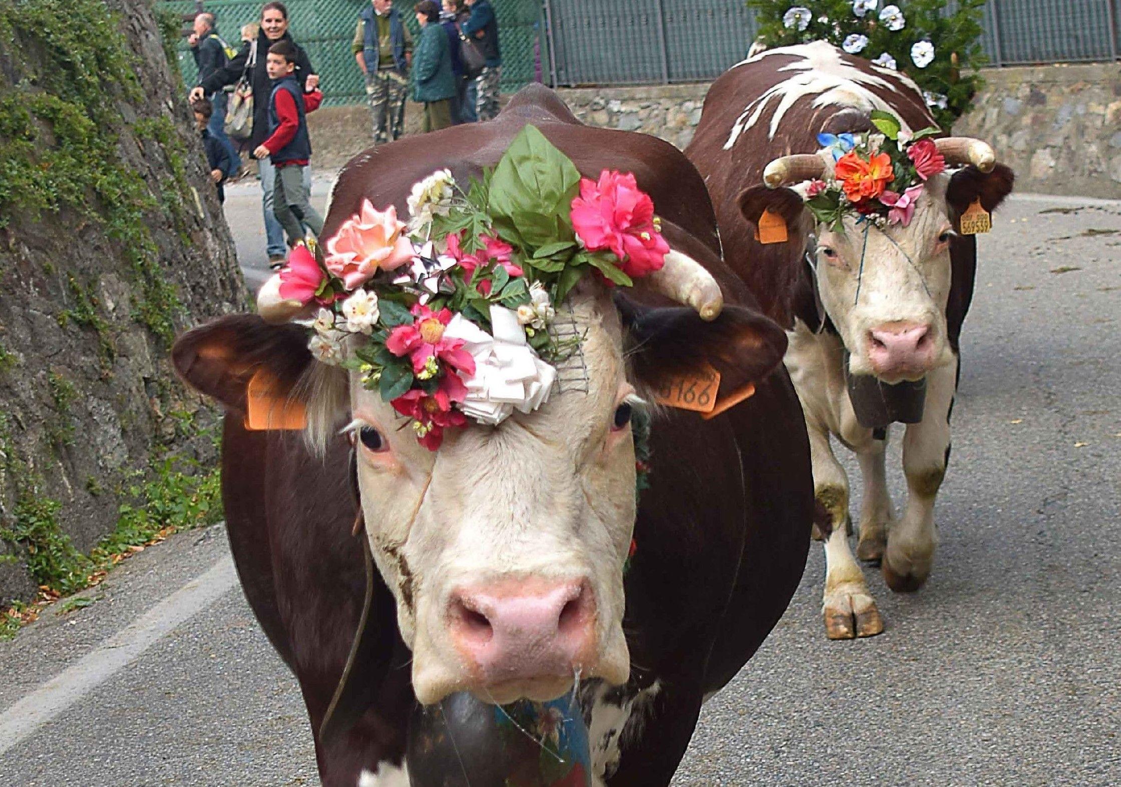 SETTIMO VITTONE - Il ritorno delle mandrie bovine diventa festa