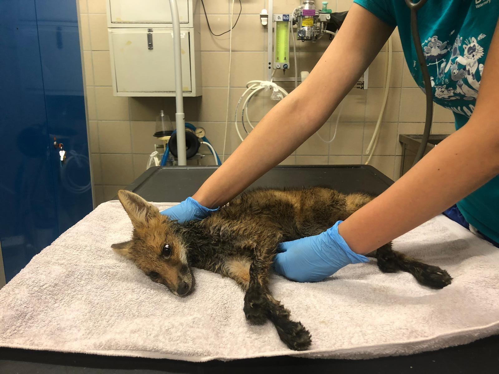 ANIMALI - Salvata una piccola volpe caduta in un canale sulla collina chivassese - FOTO