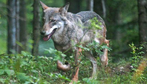 CANAVESE - Attacchi dei lupi: 200 mila euro per gli allevatori danneggiati