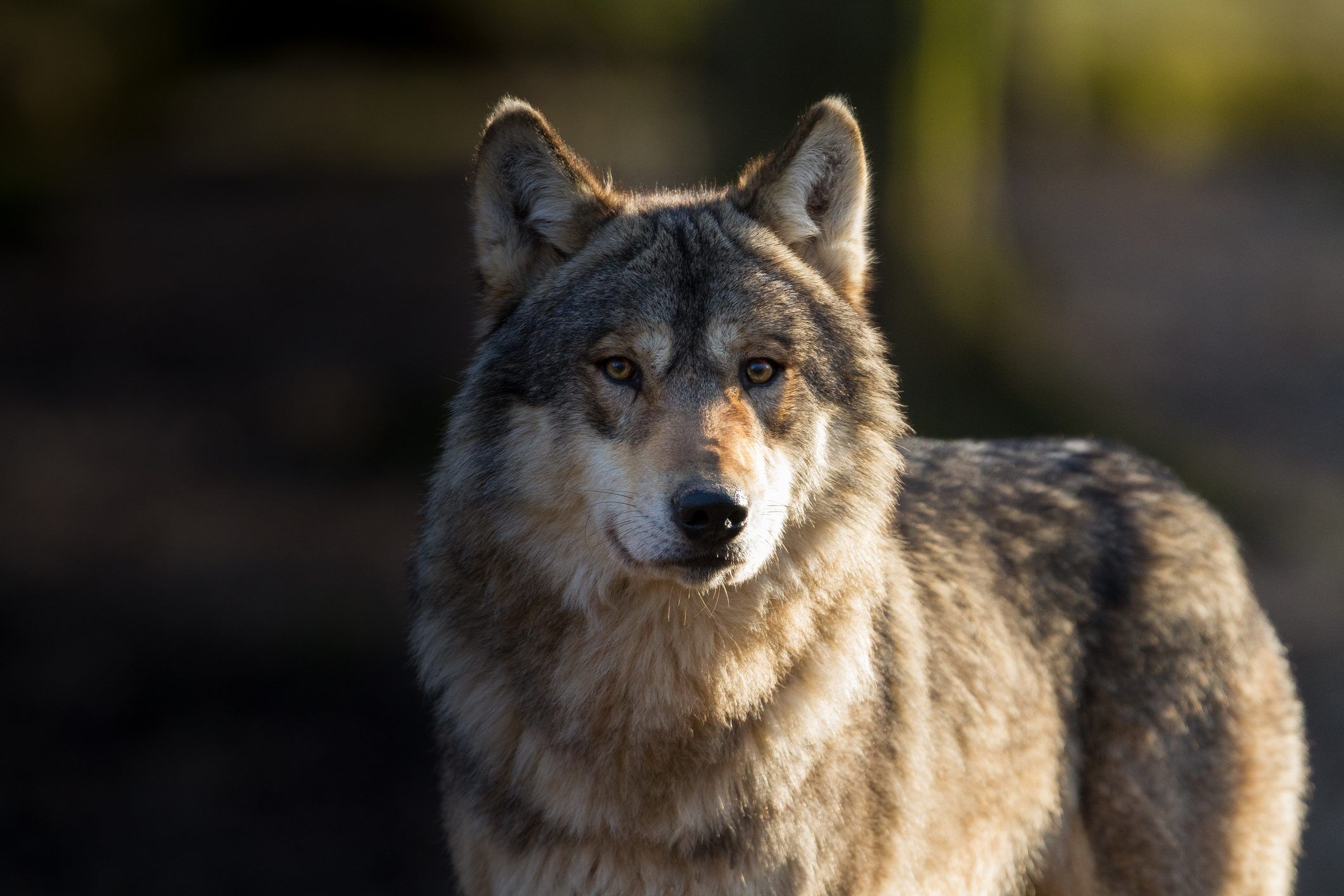 CANAVESE - Attacchi dei lupi: la Regione pensa ad un sistema di indennizzi più celere