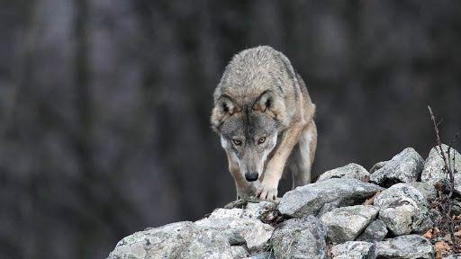 CANAVESE - Attacchi dei lupi, l'Uncem scrive ai ministri Costa e Bellanova: «Servono soluzioni»