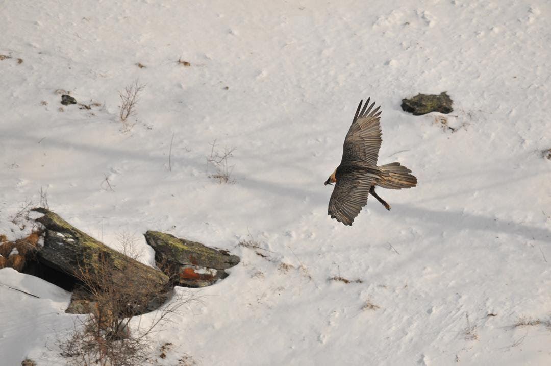 PARCO GRAN PARADISO - Il Gipeto torna a nidificare per il quinto anno consecutivo