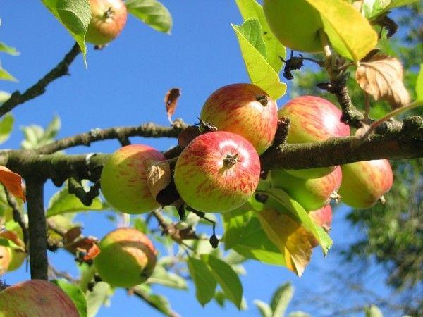 CANISCHIO - I bimbi delle scuole riscoprono come coltivare le mele