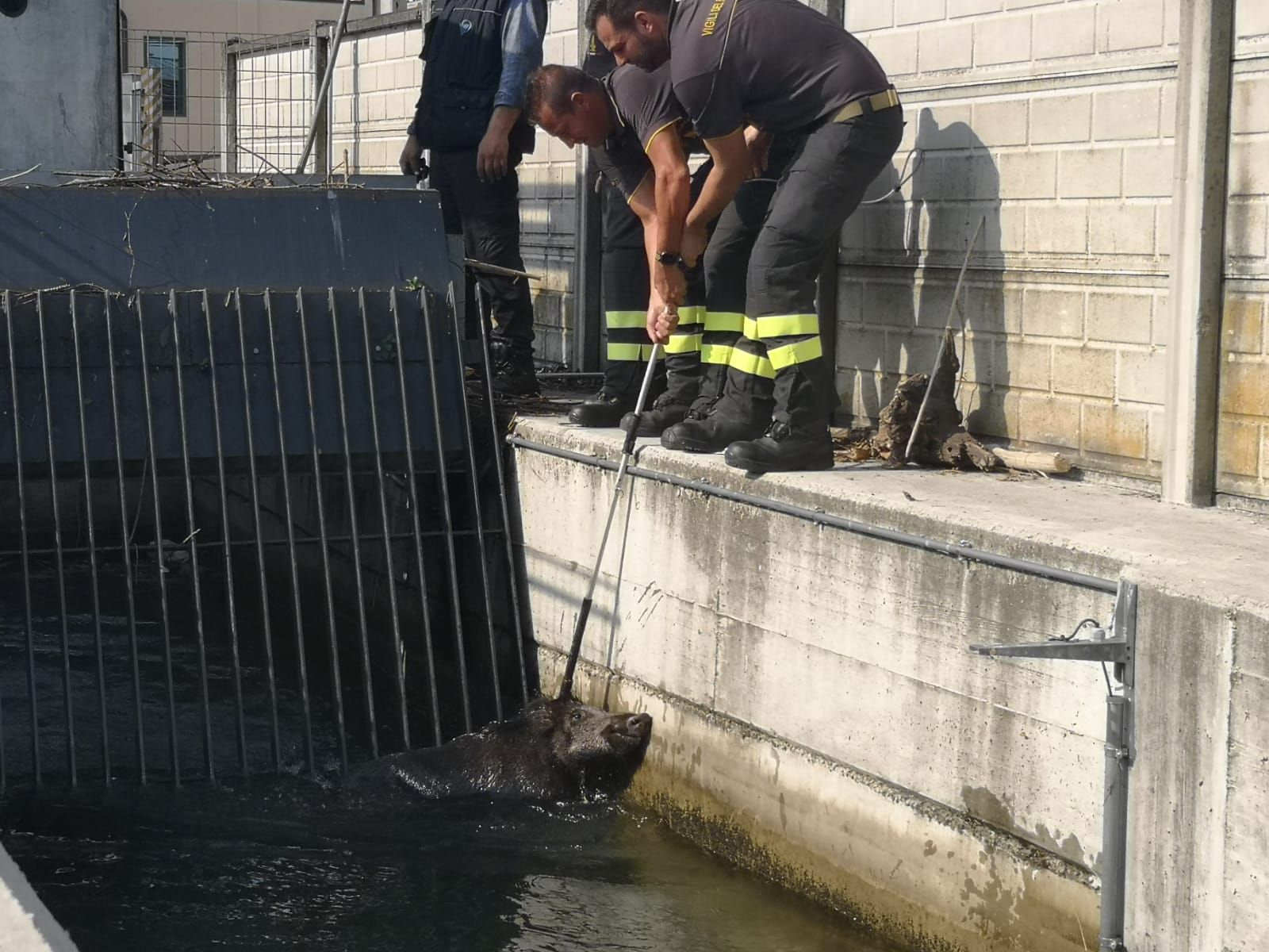 VALPERGA - Cade nel canale, cinghiale salvato dai vigili del fuoco di Ivrea