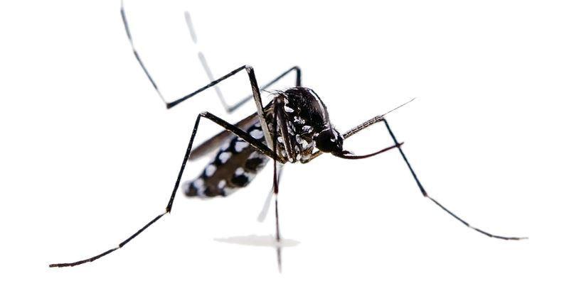 ALLARME ZANZARE - Studio ISS: «Non sono loro a trasmettere il coronavirus»