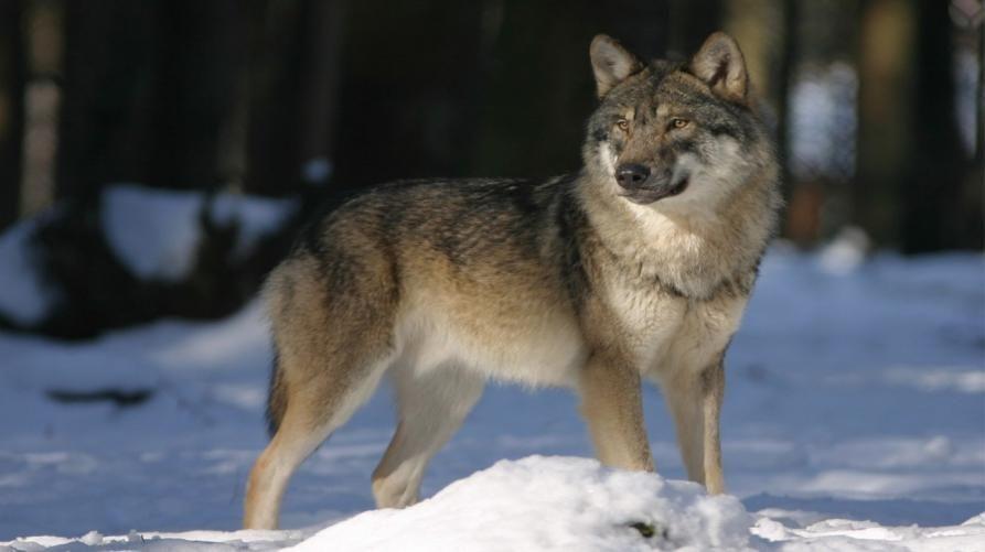 CANAVESE - Bando a favore degli allevatori per i sistemi di protezione da lupi