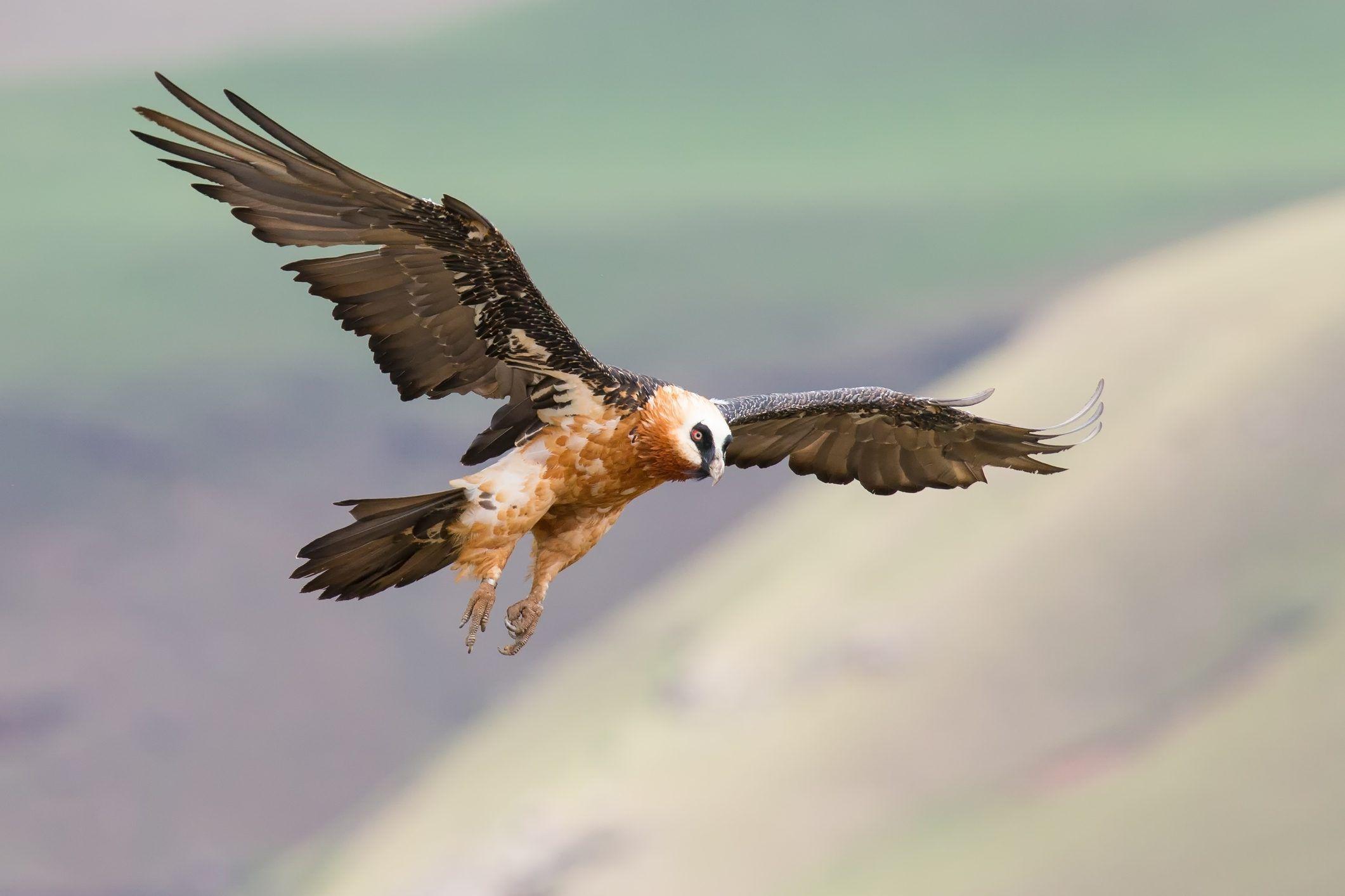 PARCO GRAN PARADISO - Il gipeto torna a nidificare seguito dal «Grande Fratello» - VIDEO