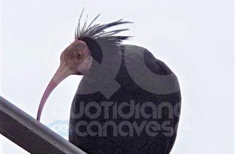 FIORANO CANAVESE - Le «vacanze» canavesane di uno splendido Ibis Eremita - FOTO