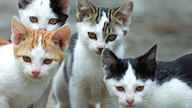 CASELLE - I gatti dell'Alenia spariti? Indagano i carabinieri