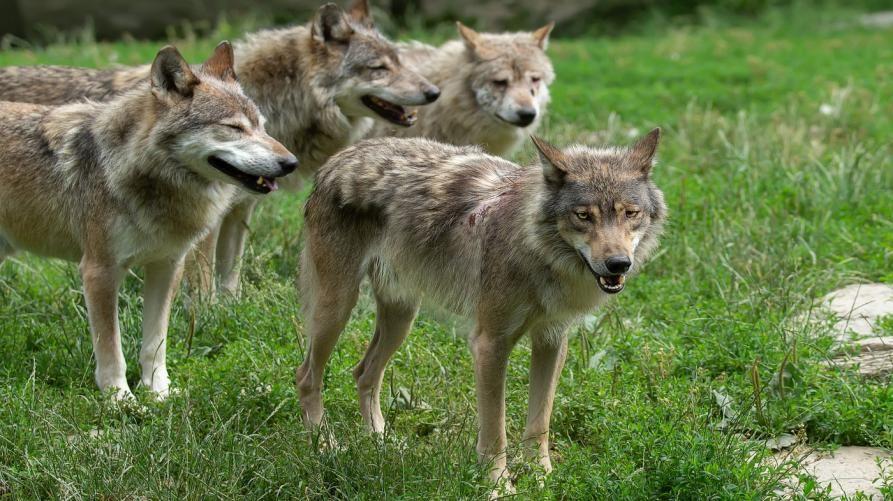 CANAVESE - Studio sulla presenza del lupo: monitorate le zone alpine e la Serra morenica di Ivrea
