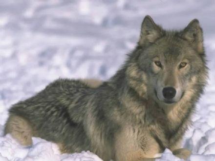 CANAVESE - Coldiretti: «Piano lupo: primo impegno difendere pecore, capre e mucche»
