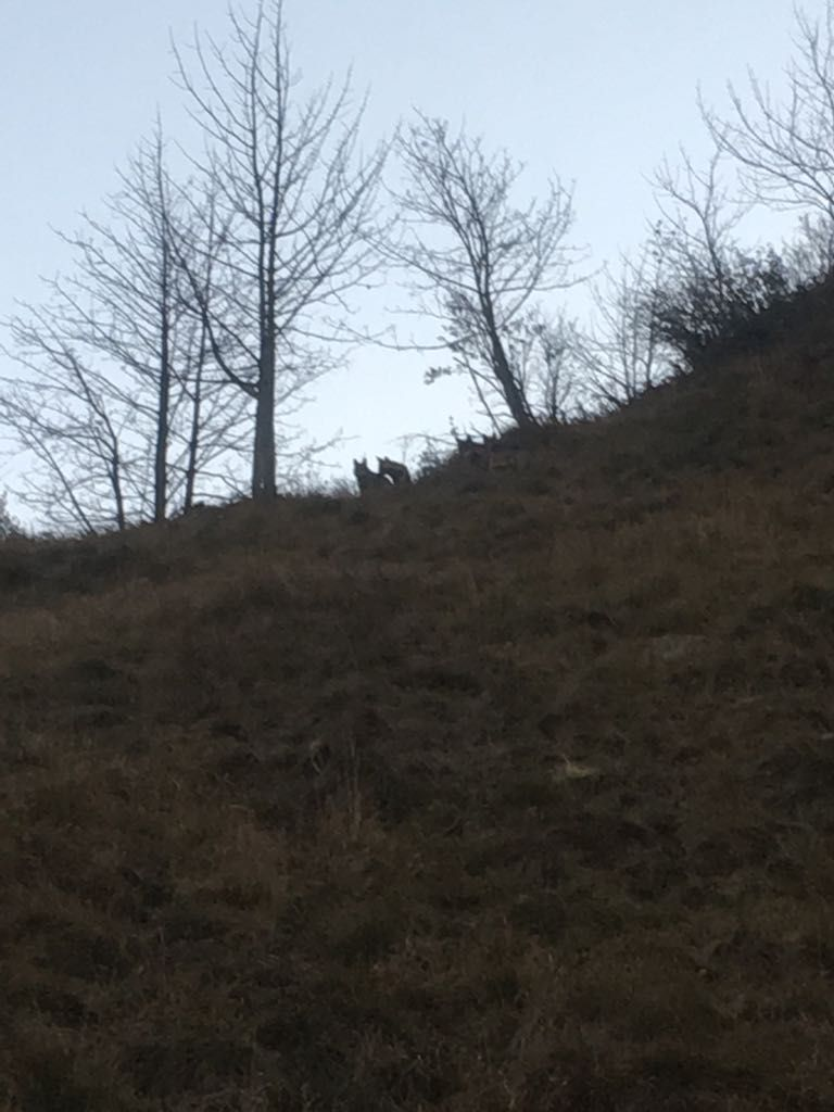 CANAVESE - Nuovi avvistamenti di lupi in Valle Soana, nel parco del Gran Paradiso