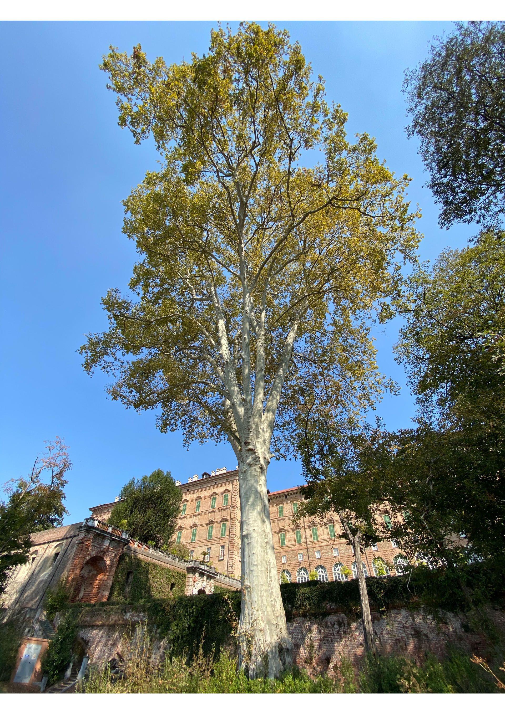 AGLIE' - Il platano più alto d'Italia candidato al premio «Tree of The Year 2020» - VOTA PER AGLIE'