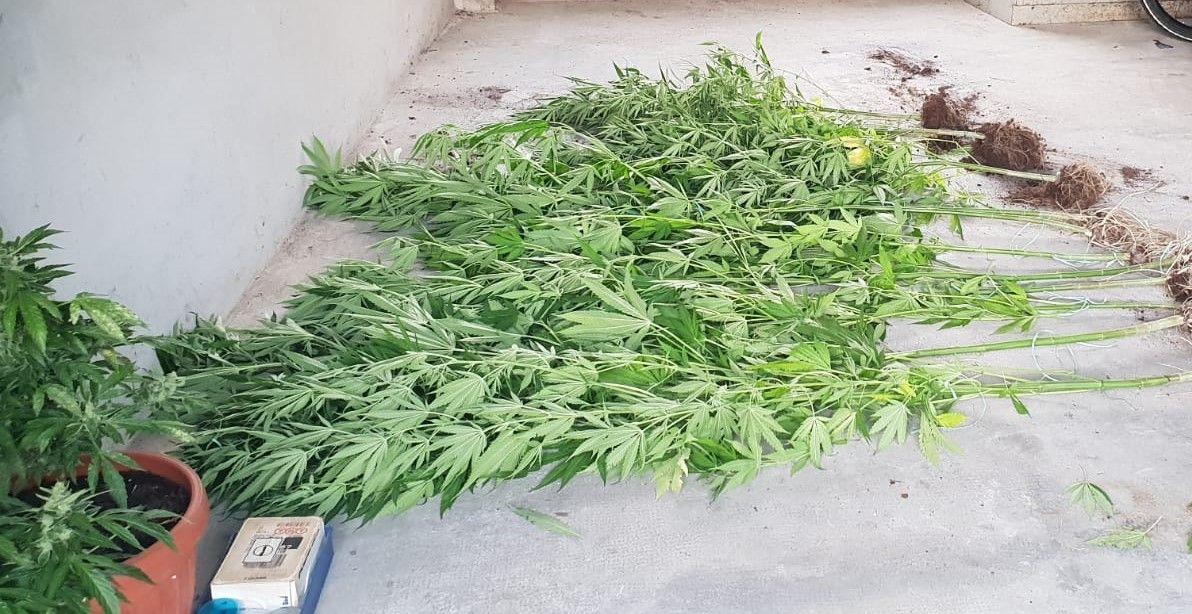 RIVARA-FORNO CANAVESE - Blitz antidroga dei carabinieri: trovata una piantagione di marijuana - FOTO