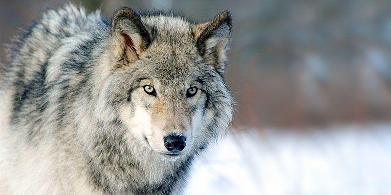 CANAVESE - I forestali (ma solo loro) potranno sparare ai lupi