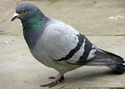 SALASSA - I falchi farlocchi danno la caccia al piccione