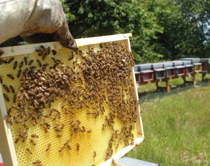 MERCENASCO - Vandali devastano le arnie delle api: danni ingenti