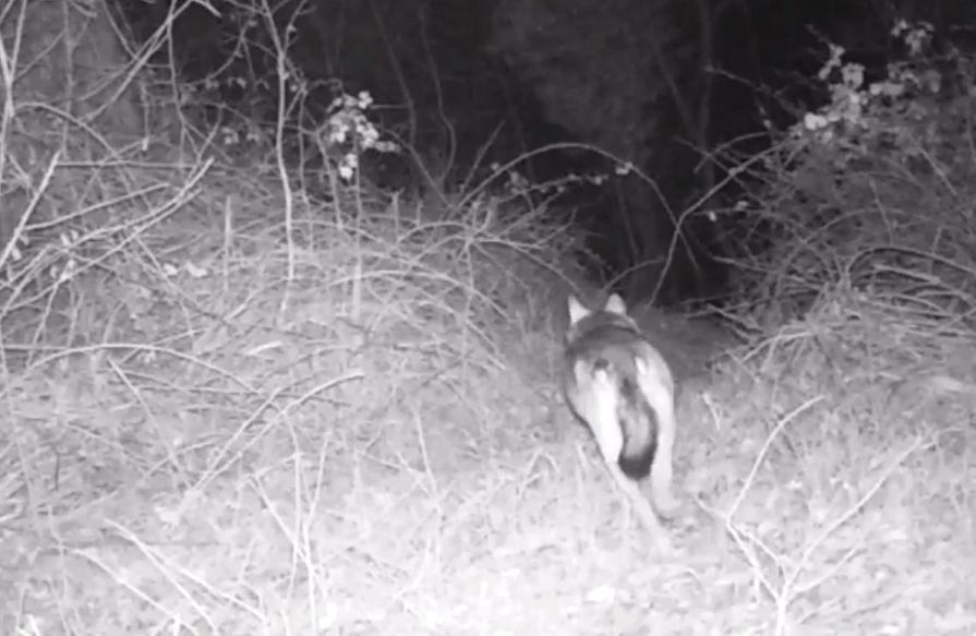 CHIVASSESE - Il lupo c'è: filmati due esemplari a spasso... - VIDEO
